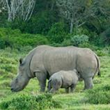Conservation: Thandi the rhino